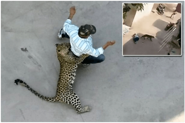 Leopard  Goes on Rampage Attacks 3 People Almost to Death  (Photos)