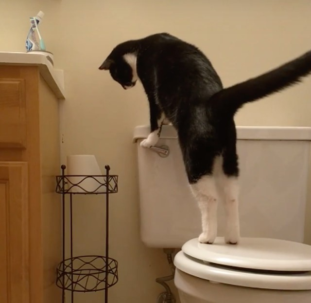 Can you Imagine a Cat Flashing the Toilet After Use – Toktok9ja TV