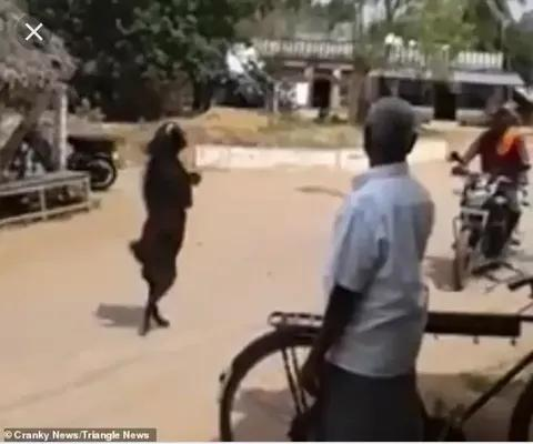 Drama As Goat Sets New Record By Walking to the Market on its Hind Legs
