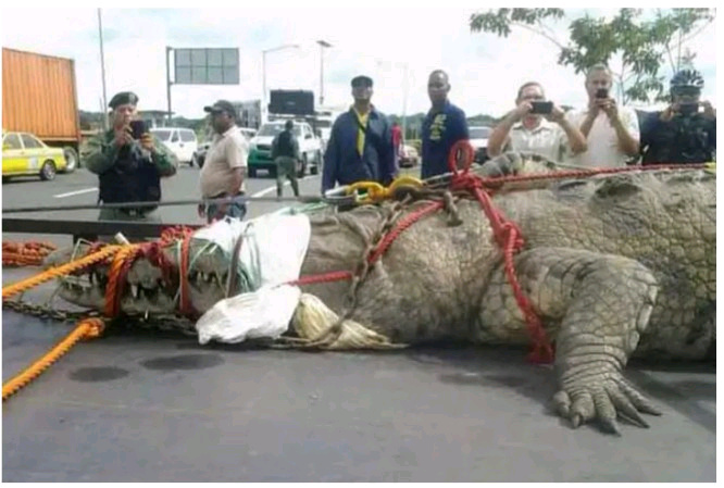 Monster Looking Crocodile Caught On the Street of Panama